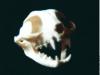 CAT SKULL Of The Cover The Felines Await You - 1988